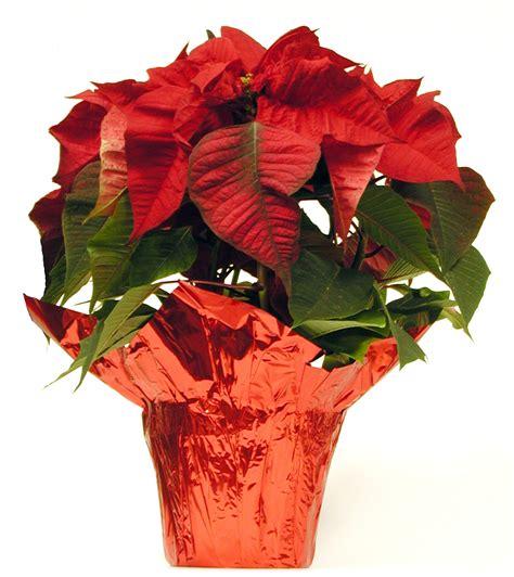 caring for poinsettias poinsettia care tips flower pressflower press