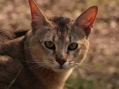 chausie information characteristics facts names