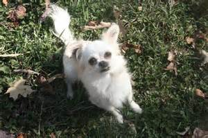 pekingese mix with chihuahua dog breeds picture