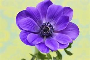 anemone medicine