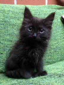 baby black cat 25 best ideas about black kittens on kittens