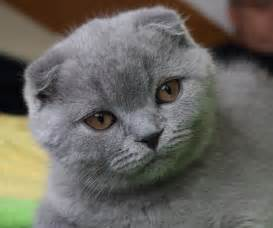 scottish fold cat file 3mo lilac scottish fold fanel jpg