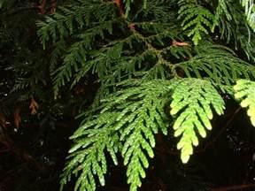 western cedar tree essence flower essences flower remedies tree frog farm