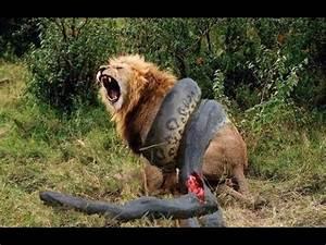 Lion vs Great Anaconda - YouTube