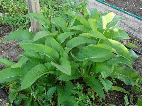 cuisine des plantes sauvages best 25 plantes sauvages comestibles ideas on