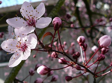 cherry blossom plants cherry tree flower blossom 2 by enchantedgal stock on deviantart