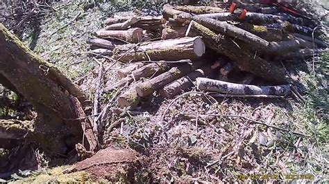 abattage arbre penche avec percage  coeur  mortaise