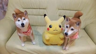 Pikachu Shibes Adorable Yayomg