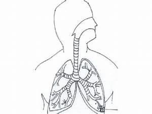 Respiratory System Unlabeled Diagram