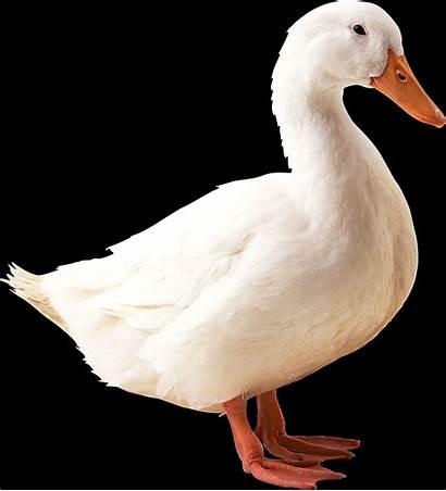 Duck Meaning Ducks Symbol Dream Quack Symbolism