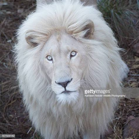 white lion stock   pictures getty images