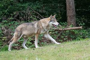 Tamaskan vs Siberian Husky - Breed Comparison   MyDogBreeds