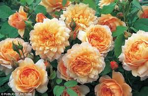 Rose Flower Carpet Pink by Jewels Of The Garden That Will Dazzle Indoors Roses