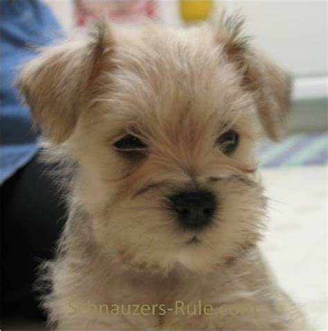 Miniature Schnauzer Stories Free Web Page For Your Schnauzer