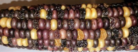 corn genetics chi square