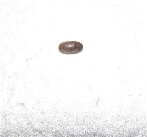 Coleotteri Volanti Strani Insetti Soprattutto In Cucina Pestforum