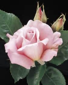 Tiffany Hybrid Tea Rose Pink
