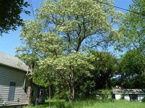 locust tree albion trees 187 black locust