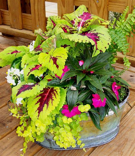 coleus container design shade to part shade using coleus new guinea impatiens ferns and creeping jenny contain