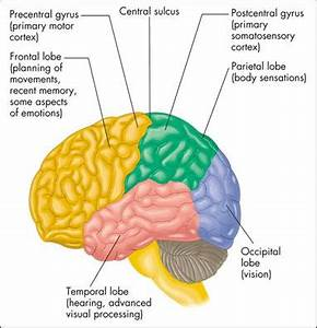 What does the cerebral cortex do ccuart Gallery