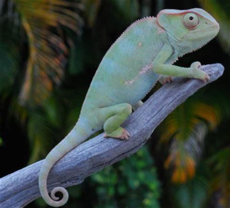 types of chameleons 11 different types of chameleons clubfauna