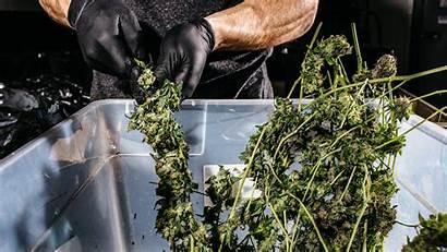 Marijuana Deaths Recreational States Legal Legalization Pedestrian