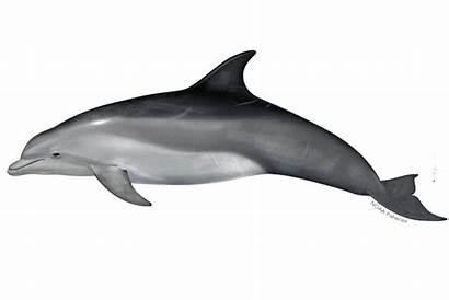 Dolphin Bottlenose Common Noaa Fisheries Transparent Tursiops