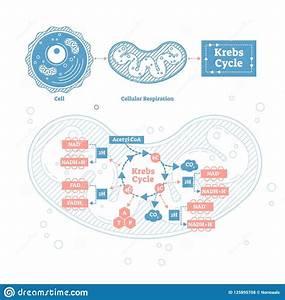Krebs Cycle Vector Illustration  Cellular Respiration