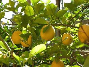 Tips For Growing Lemons In The Garden Or Indoors