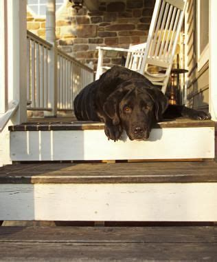 front porch pets 18 best doberman shepherd images on