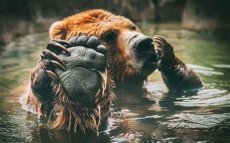 Water Animal Wallpaper - animals bears water paws wallpapers hd desktop and