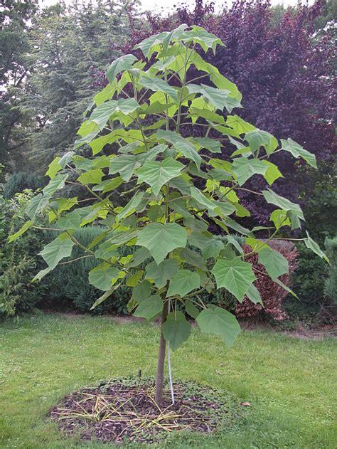 blauglockenbaum gigantoese keimung page  exotische
