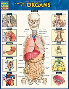 Top 10 Organs Anatomy Of 2020