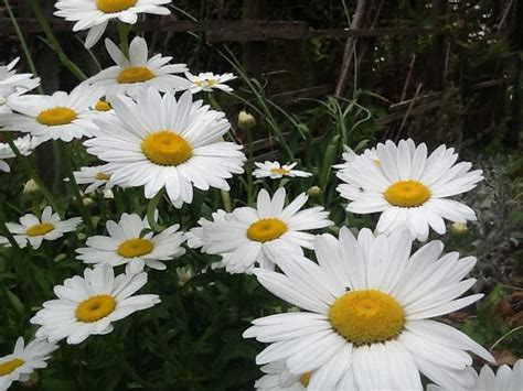 splitting shasta daisies shasta daisies plant care and collection of varieties garden org