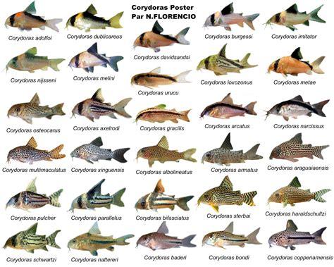 poster  corydoras monsterfishkeeperscom