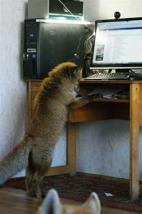 fox  computer image democratic fox lovers republic