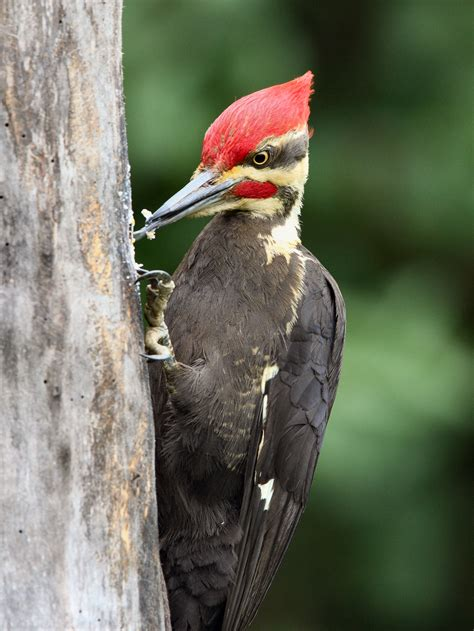 how to deal with problem woodpecker in maryland