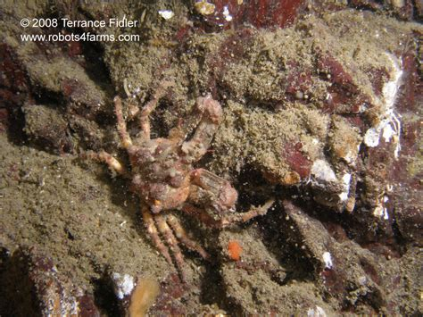 Decorator Crabs Are Bottom Dwelling Or by Willis Point Sidney Scuba Diving Pictures