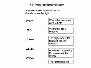Reproductive System Worksheet Answers  Human Anatomy