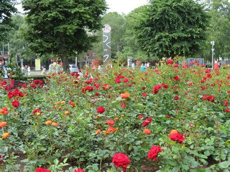 Rožu laukums - rožu krāšņumā | liepajniekiem.lv