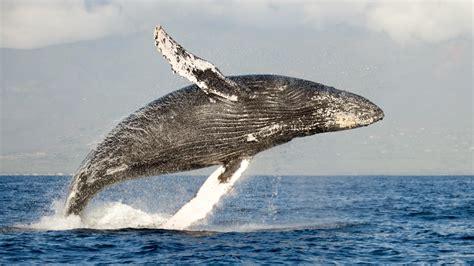 Humpback Whales Arrive In Puerto Vallarta And Riviera Nayarit
