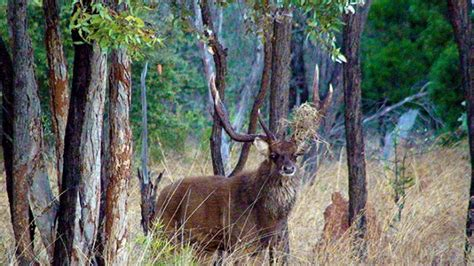 rusa deer hunting  north queensland australiaaustralian