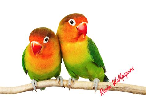 Birds Wallpaper  Wallpaper Rasim