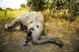 Africa Has Lost a Third of Its Elephants in Just 7 Years ...