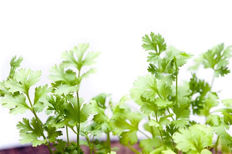 cooking cuisine fresh coriander plants white free stock image