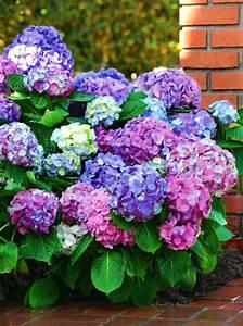 Sind Hortensien Winterhart : hortensie l a dreamin hydrangea macrophylla l a dreamin g nstig online kaufen ~ Orissabook.com Haus und Dekorationen