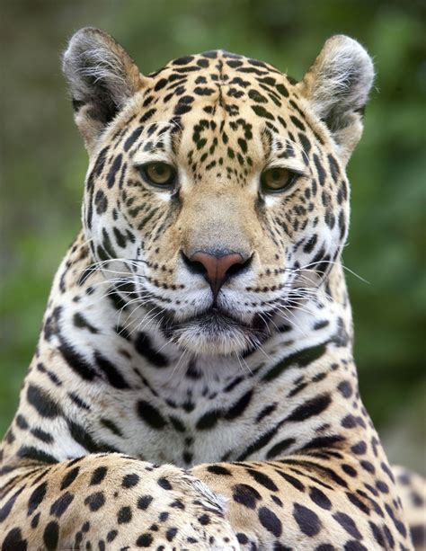captivating facts   food jaguars eat   habitat