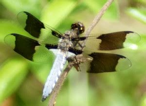 common whitetail dragonflies whats  bug