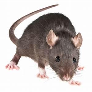 Comment Tuer Une Souris : souris dans le grenier c 39 est simple et facile ~ Maxctalentgroup.com Avis de Voitures
