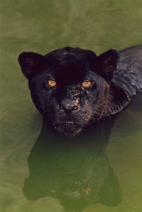 black panther  comic book heroand  kind